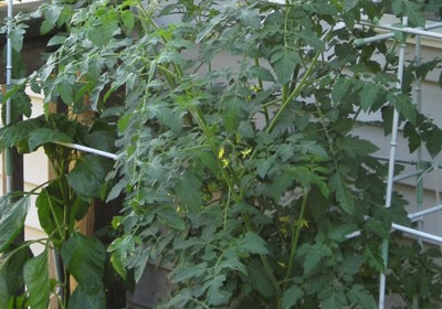 Cherry Tomato Plants in a Grow Box