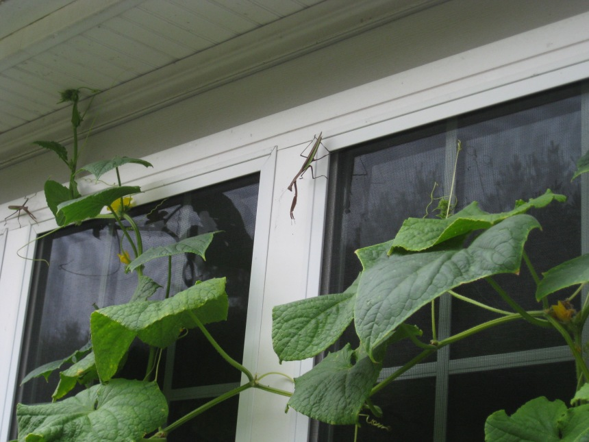 Two praying mantises hanging on a cucumber vine