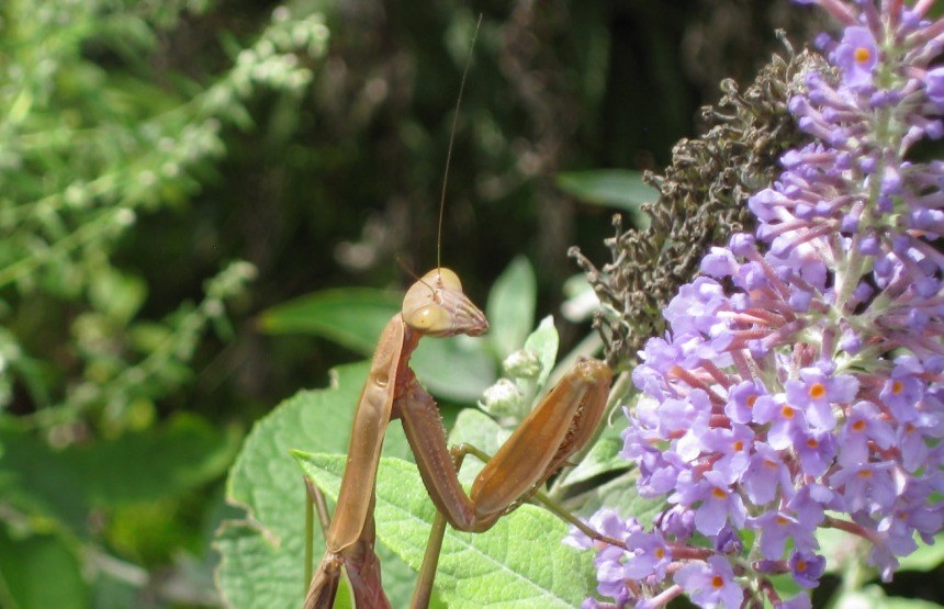 Adult Praying mantis on a butterfly bush bloom