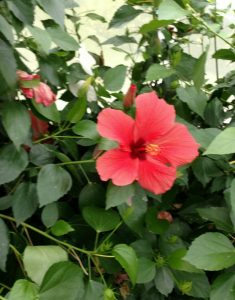 Hibiscus Flower inside the butterfly house