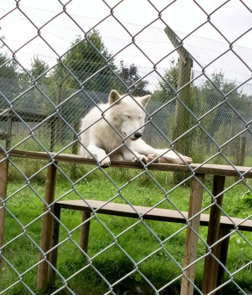 A white artic wolf